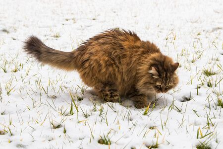 Beautiful long haired cat of siberian breed in the garden in winter time, brown female 版權商用圖片 - 131735988