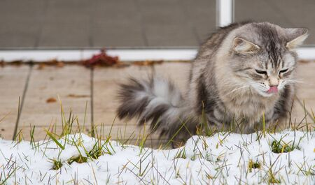 Grey silver long haired cat of siberian breed in the garden in winter time Stock fotó