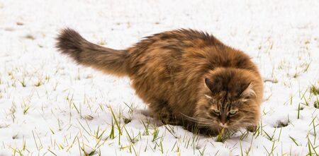 Cute long haired cat of siberian breed in the garden in winter time, brown female 版權商用圖片