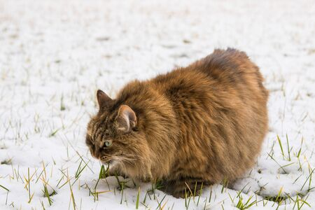 Beauty long haired pet of siberian cat in the garden in winter time
