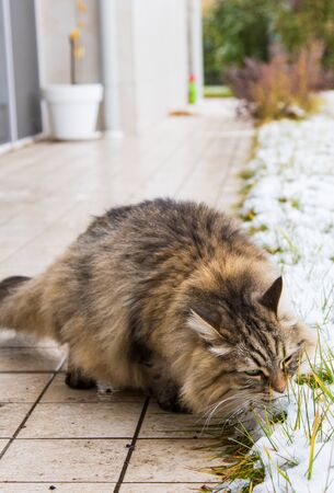 Beautiful long haired cat of siberian breed in the garden in winter time 版權商用圖片 - 131735792