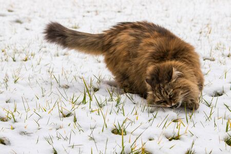 Pretty long haired cat of siberian breed in the garden in winter time 版權商用圖片 - 131735747