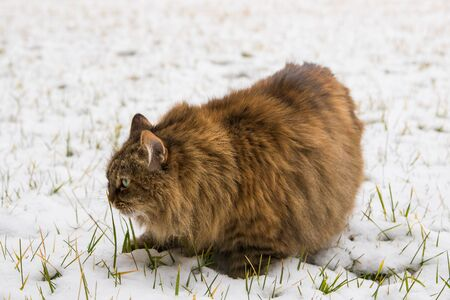 Beautiful long haired pet of siberian cat in the garden in winter time Stock fotó