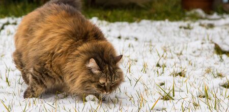 Beautiful long haired cat of siberian breed in the garden in winter time. Female gender brown hair 版權商用圖片
