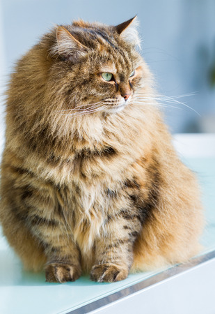 Curious siberian cat of livestock in relax in a garden, long haired 스톡 콘텐츠