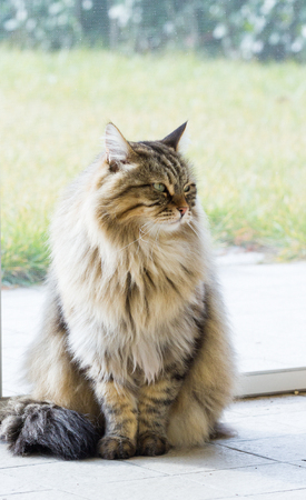 Nice siberian cat of livestock in relax in a garden, long haired 스톡 콘텐츠