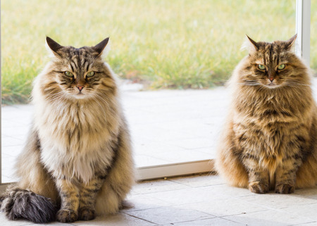 Pretty two siberian cats of livestock in relax in a garden, long haired 스톡 콘텐츠