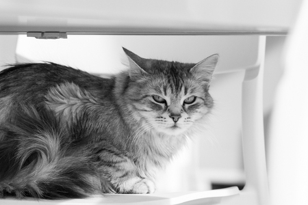Adorable pet of livestock with long hair, siberian purebred cat lying on a chair Imagens