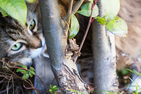 Beautiful furry kitten outdoor, siberian purebred cat in relax in a garden under a plant Stok Fotoğraf