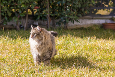 Male tabby cat outdoor, siberian purebred pet in relax in a garden Stock Photo