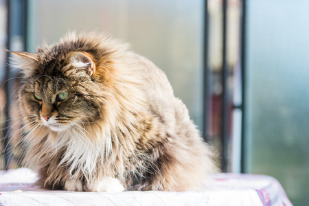 Adorable long haired cat of siberian breed in relax. Hypoallergenic pet of livestock