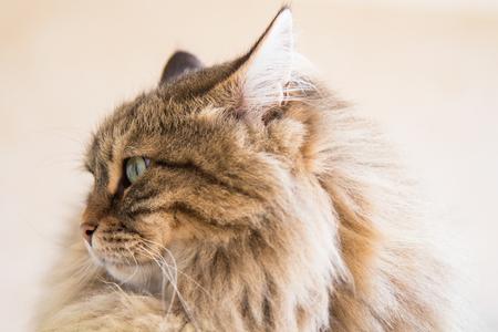 Beautiful pet of livestock in relax, siberian purebred cat Stock Photo