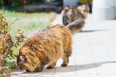 Adorable siberian cat with long hair outdoor in a sunny day 스톡 콘텐츠