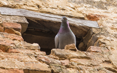 Pigeon into a nest of the wall Standard-Bild