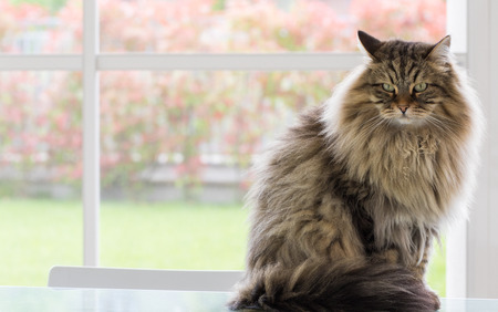Long haired cat of siberian breed outdoor in relax