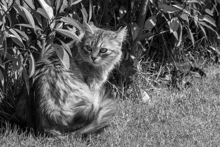 Siberian cat of livestock outdoor in a garden. Long haired hypoallergenic pet, purebred kitten 写真素材
