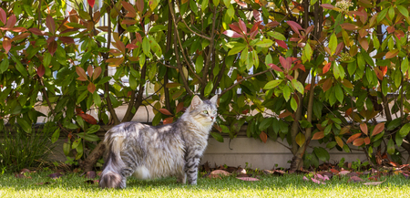 Siberian cat of livestock outdoor in a garden. Long haired hypoallergenic pet, purebred kitten Imagens