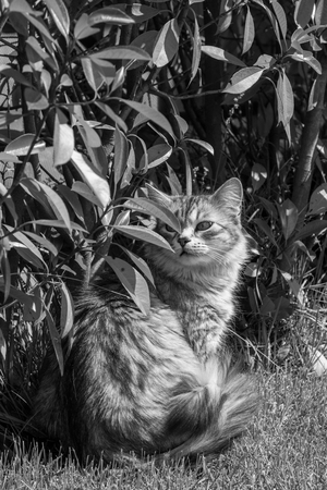 Siberian cat of livestock outdoor in a garden. Long haired hypoallergenic pet, purebred kitten Foto de archivo