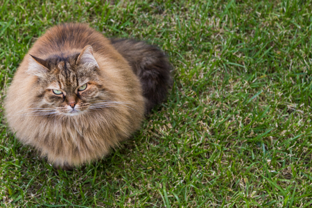Adorable long haired cat outdoor in a garden. Beautiful siberian breed of cat, pet of livestock