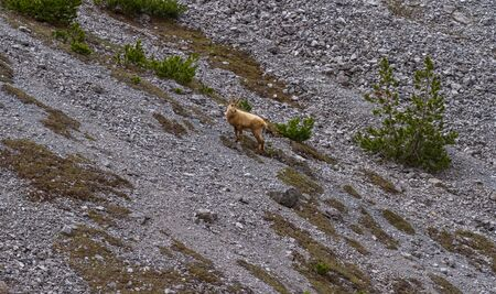 Wild ibex on the rock, Alpine animal in nature