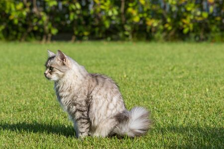 Beautiful long haired cat of siberian breed on the grass green. Purebred domestic pet of livestock in relax outdoor, hypoallergenic animal 스톡 콘텐츠 - 124986411