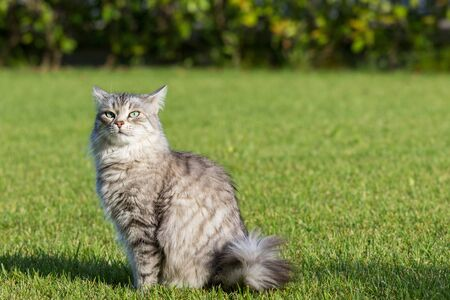 Beautiful long haired cat of siberian breed on the grass green. Purebred domestic pet of livestock in relax outdoor, hypoallergenic animal 스톡 콘텐츠 - 124986414