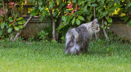 Beautiful long haired cat of siberian breed on the grass green. Purebred domestic pet of livestock in relax outdoor, hypoallergenic animal Stok Fotoğraf