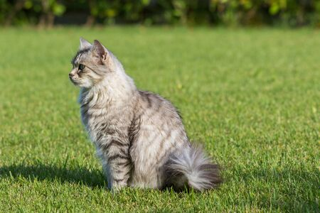 Furry domestic cat of siberian breed in relax outdoor in garden, purebred pet of livestock 스톡 콘텐츠 - 124986434