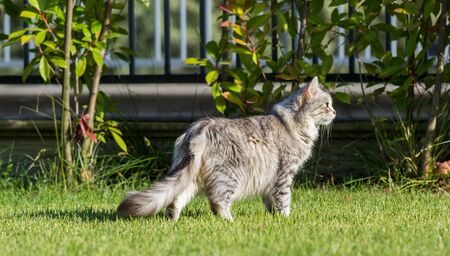 Furry domestic cat of siberian breed in relax outdoor in garden, purebred pet of livestock 스톡 콘텐츠 - 124986439