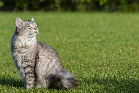 Furry domestic cat of siberian breed in relax outdoor in garden, purebred pet of livestock
