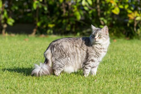 Furry domestic cat of siberian breed in relax outdoor in garden, purebred pet of livestock 스톡 콘텐츠 - 124986445