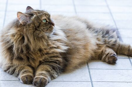 Beauty domestic cat of livestock in relax, siberian purebred 스톡 콘텐츠
