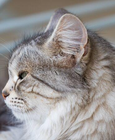 Chat domestique de beauté de bétail dans relax, pure race sibérienne