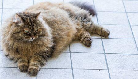 Beauty domestic cat of livestock in relax, siberian purebred 免版税图像