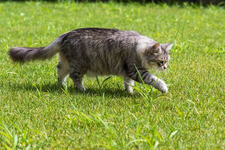 Beautiful long haired cat of siberian breed, hypoallergenic animal of livestock in a garden