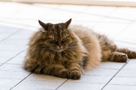 Long haired cat of livestock in relax outdoor, siberian breed 版權商用圖片 - 131735866