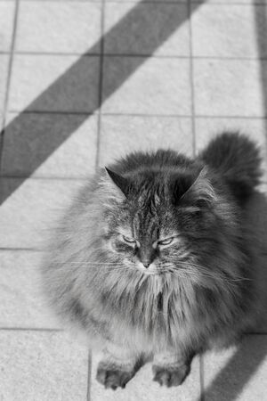 Long haired cat of livestock in relax outdoor, siberian breed 版權商用圖片 - 131735960