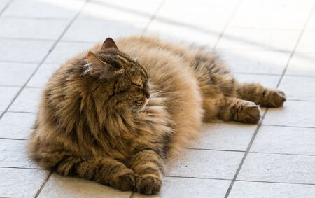 Long haired cat of livestock in relax outdoor, siberian breed Stockfoto
