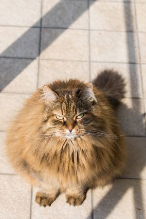 Long haired cat of livestock in relax outdoor, siberian breed Stock fotó