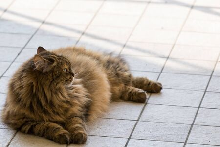 Long haired cat of livestock in relax outdoor, siberian breed 版權商用圖片