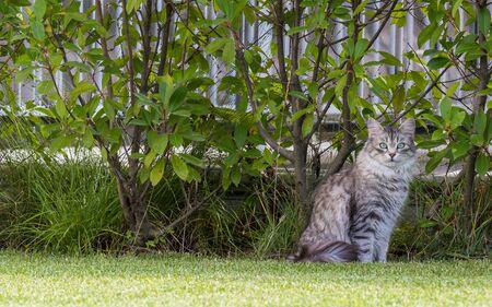 Beautiful siberian cat in a garden, playing on the grass green 版權商用圖片 - 131736007