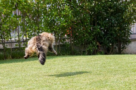 Beautiful siberian cat in a garden, playing on the grass green 版權商用圖片 - 131735898