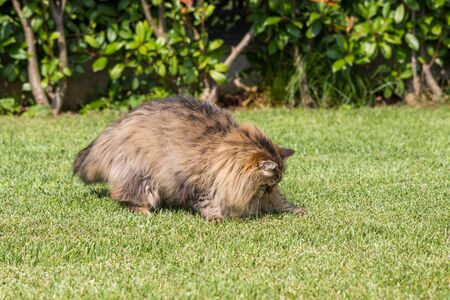 Beautiful siberian cat in a garden, playing on the grass green 版權商用圖片 - 131735913