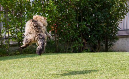 Beautiful siberian cat in a garden, playing on the grass green 版權商用圖片 - 131735769
