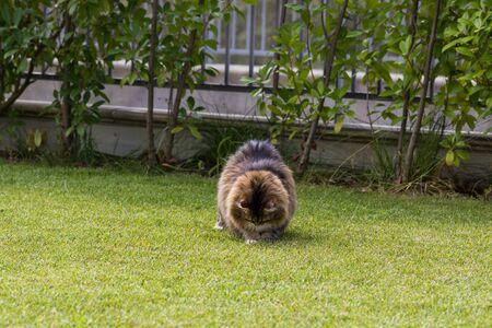 Beautiful siberian cat in a garden, playing on the grass green 版權商用圖片 - 131735752