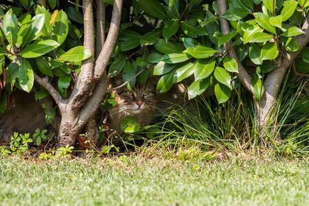 Beautiful siberian cat in a garden, playing on the grass green 版權商用圖片 - 131735915