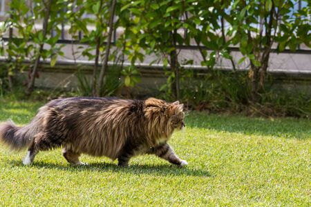 Beautiful siberian cat in a garden, playing on the grass green 版權商用圖片 - 131735811