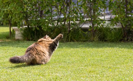 Beautiful siberian cat in a garden, playing on the grass green 版權商用圖片 - 131735765