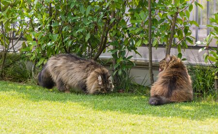 Beautiful siberian cat in a garden, playing on the grass green 版權商用圖片 - 131735718