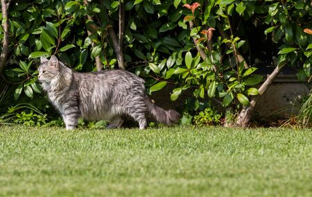 Beautiful siberian cat in a garden, playing on the grass green